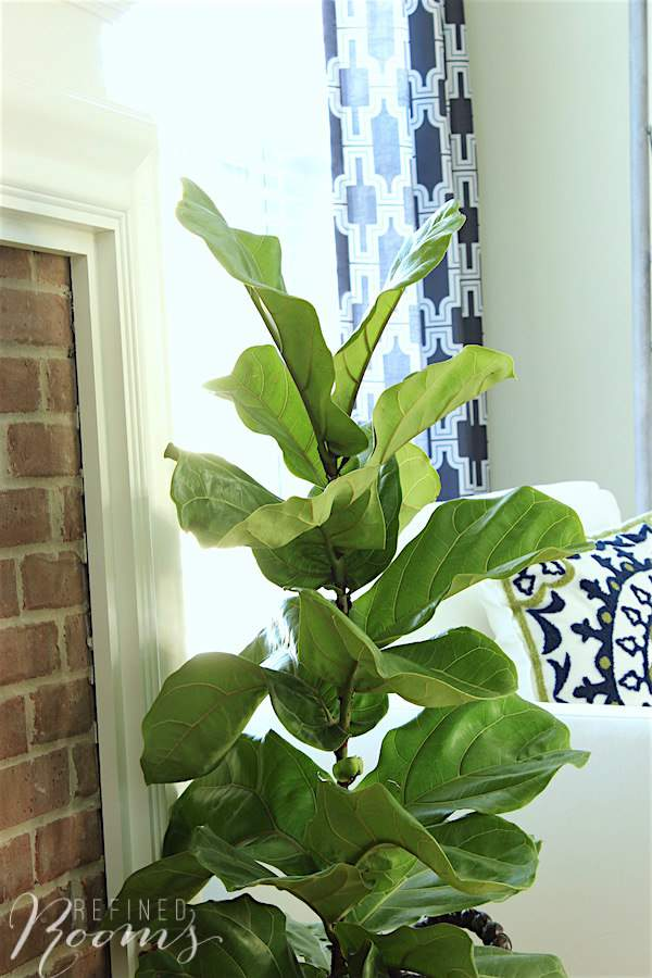 A new fiddle leaf fig plant as part of our great room makeover